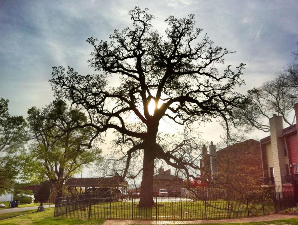 council oak 1